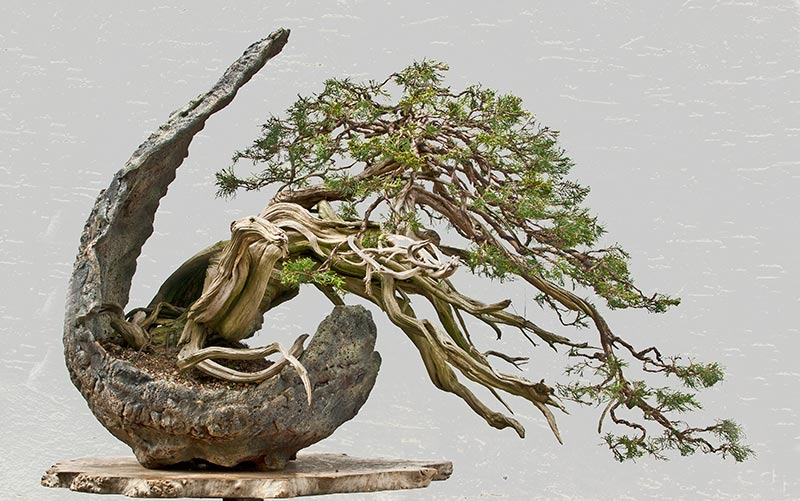 Bonsai Photo of the Day 4-26-2019