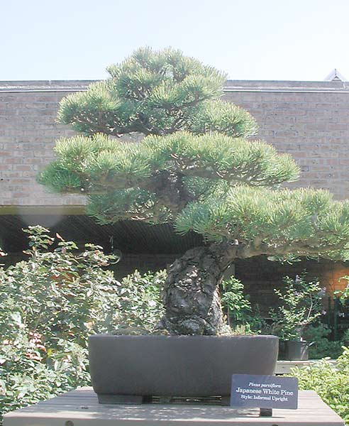 Bonsai Photo of the Day 4-30-2019