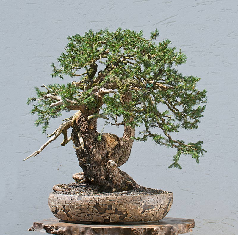 Bonsai Photo of the Day 4-9-2019