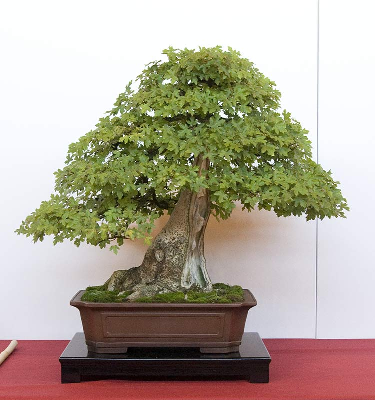 Bonsai Photo of the Day 5-1-2019