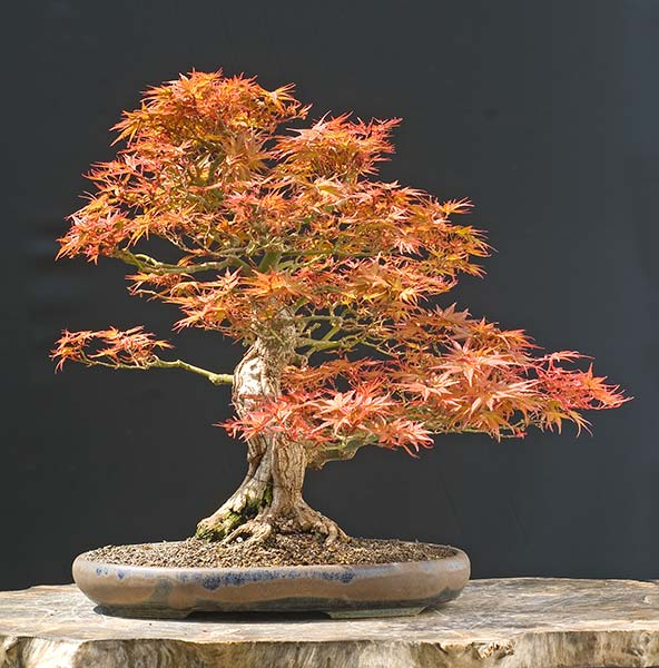 Bonsai Photo of the Day 5-10-2019
