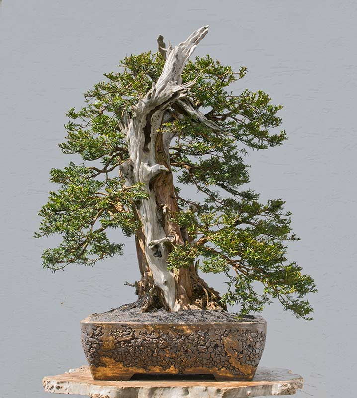 Bonsai Photo of the Day 5-14-2019