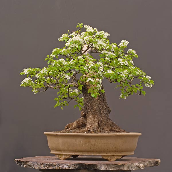 Bonsai Photo of the Day 5-22-2019