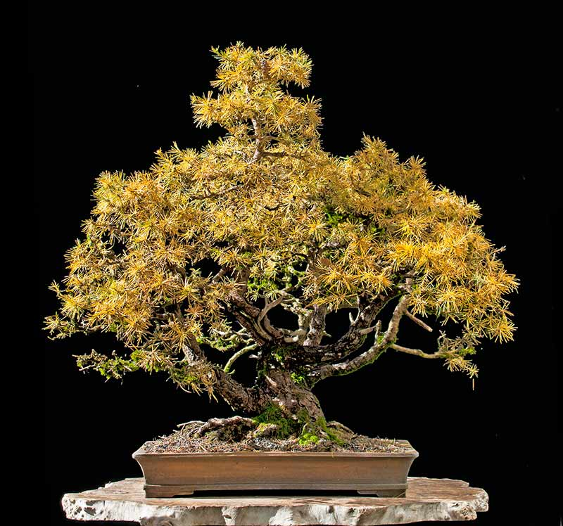 Bonsai Photo of the Day 5-23-2019