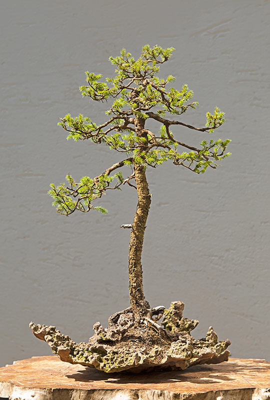 Bonsai Photo of the Day 5-24-2019