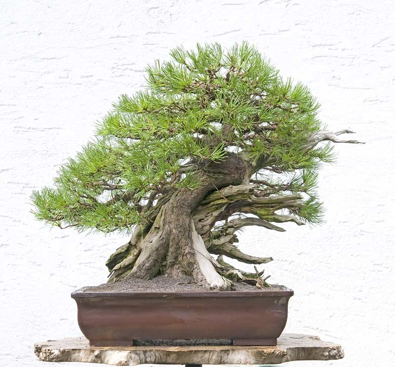 Bonsai Photo of the Day 5-3-2019