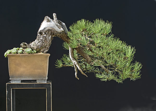 Bonsai Photo of the Day 5-8-2019