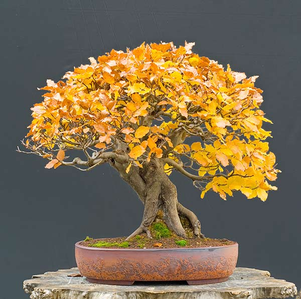 Bonsai Photo of the Day 6-11-2019