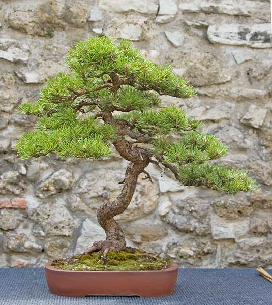 Bonsai Photo of the Day 6-12-2019
