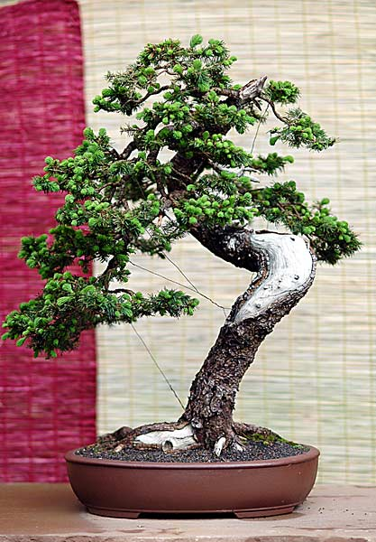 Bonsai Photo of the Day 6-6-2019