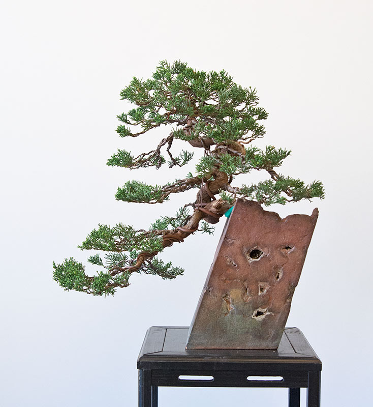 Bonsai Photo of the Day 6-17-2019