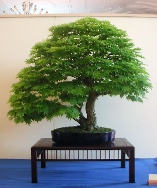 Bonsai Photo of the Day 6-20-2019
