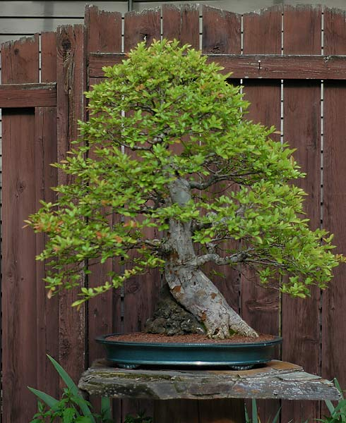 Bonsai Photo of the Day 6-25-2019