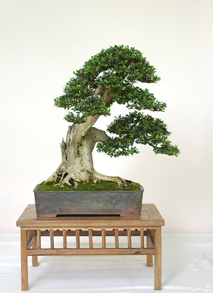 Bonsai Photo of the Day 7-1-2019