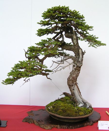 Bonsai Photo of the Day 7-12-2019