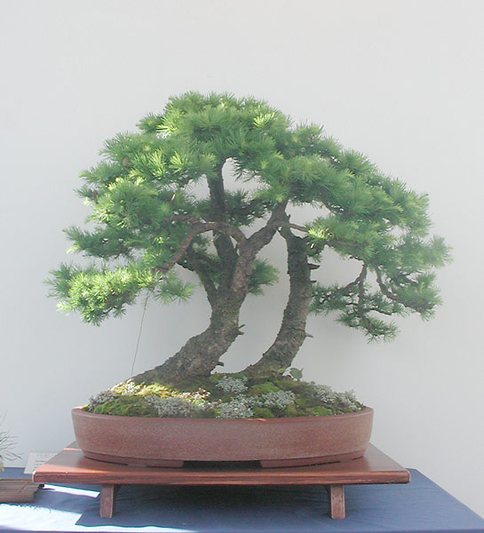 Bonsai Photo of the Day 7-16-2019