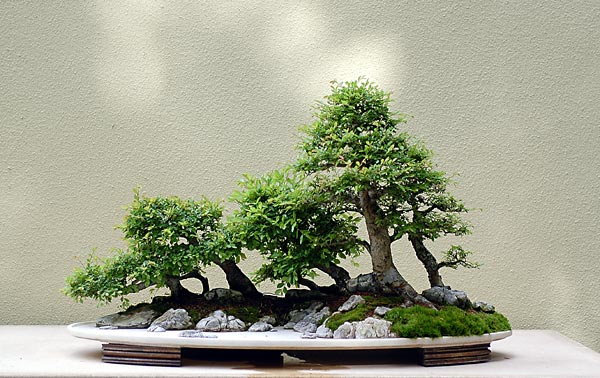 Bonsai Photo of the Day 7-18-2019