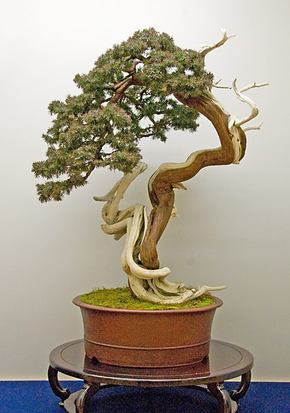 Bonsai Photo of the Day 7-19-2019