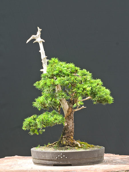 Bonsai Photo of the Day 7-2-2019
