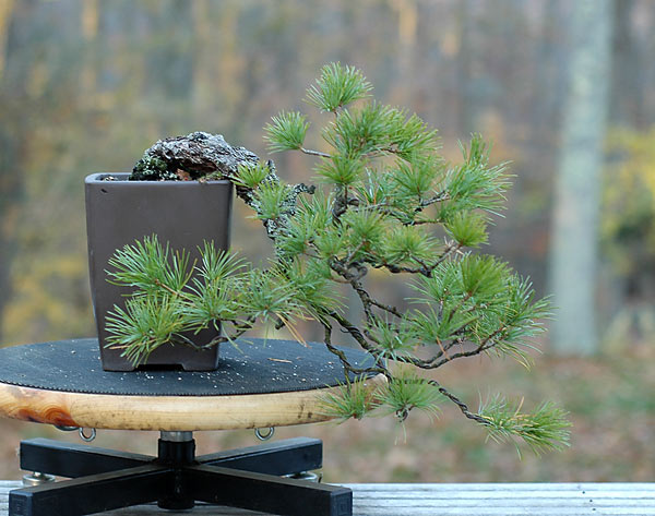 Bonsai Photo of the Day 7-23-2019