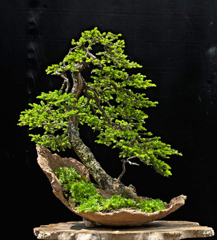 Bonsai Photo of the Day 7-24-2019