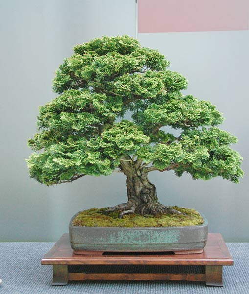 Bonsai Photo of the Day 7-25-2019