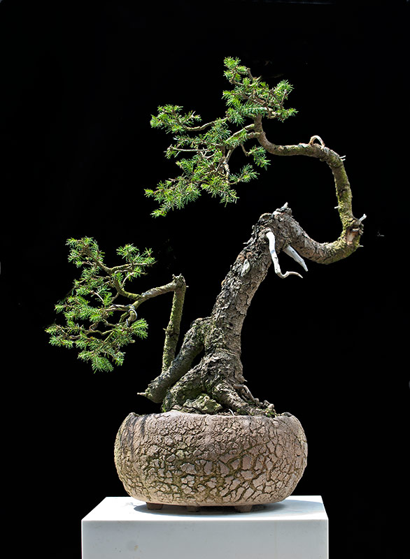 Bonsai Photo of the Day 7-26-2019