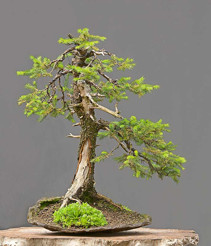 Bonsai Photo of the Day 7-3-2019