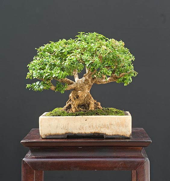 Bonsai Photo of the Day 7-31-2019