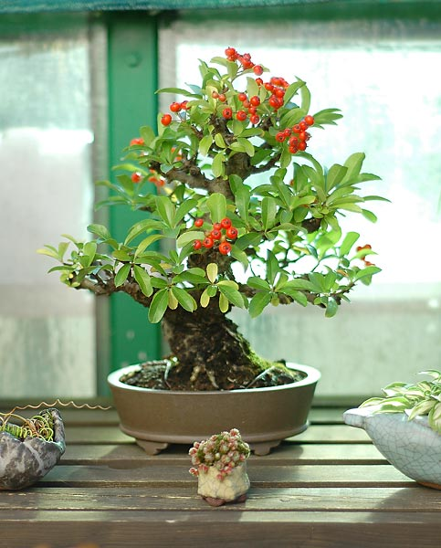 Bonsai Photo of the Day 7-4-2019