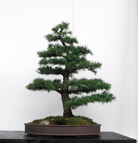 Bonsai Photo of the Day 7-5-2019