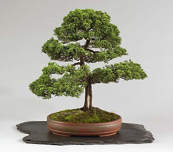 Bonsai Photo of the Day 7-8-2019