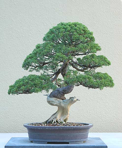Bonsai Photo of the Day 7-9-2019