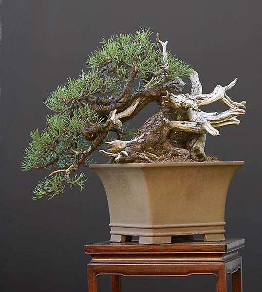 Bonsai Photo of the Day 8-13-2019