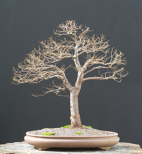 Bonsai Photo of the Day 8-15-2019