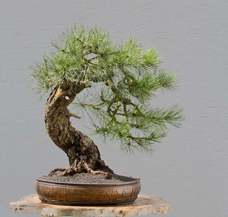 Bonsai Photo of the Day 8-19-2019