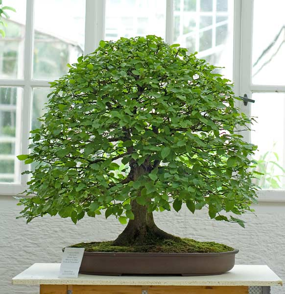 Bonsai Photo of the Day 8-2-2019