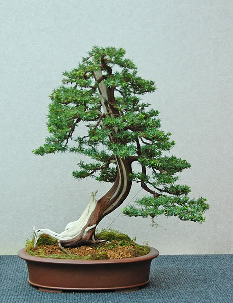 Bonsai Photo of the Day 8-21-2019