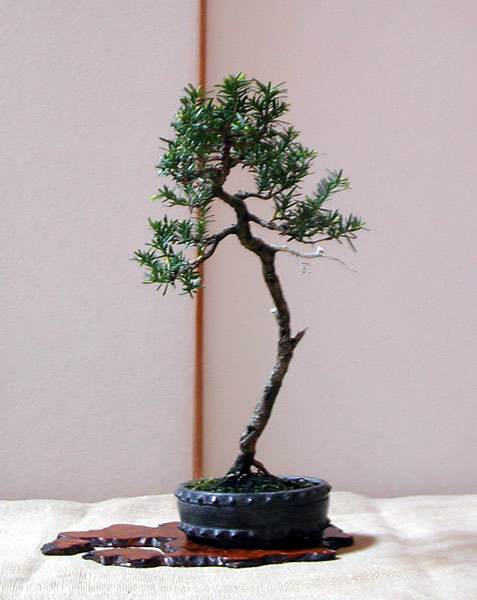 Bonsai Photo of the Day 8-28-2019