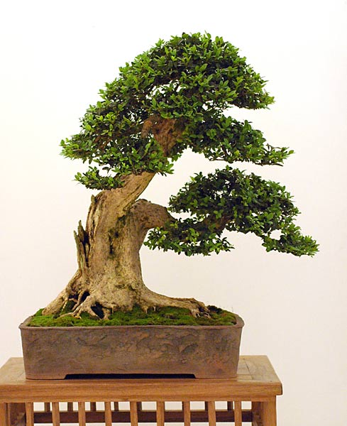 Bonsai Photo of the Day 8-29-2019