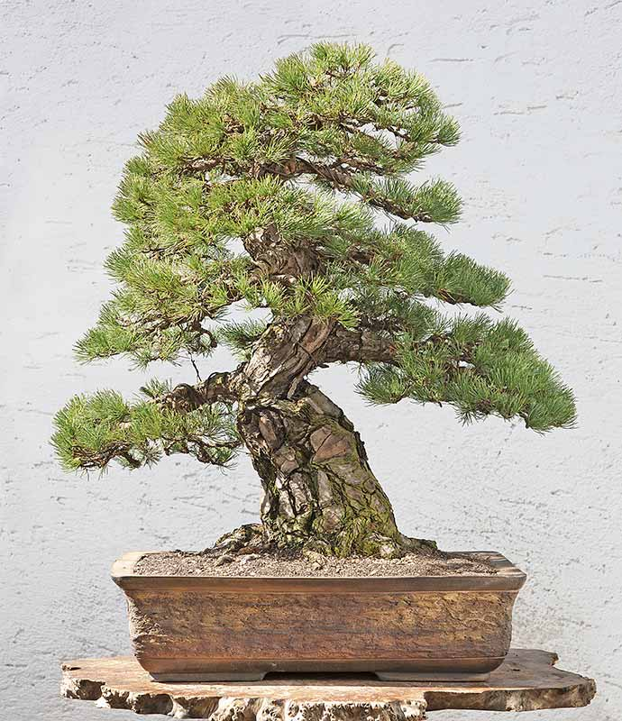 Bonsai Photo of the Day 8-30-2019