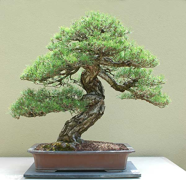 Bonsai Photo of the Day 8-5-2019