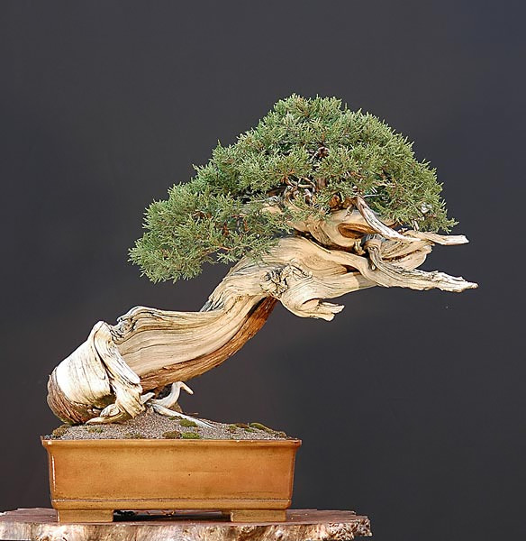 Bonsai Photo of the Day 8-6-2019