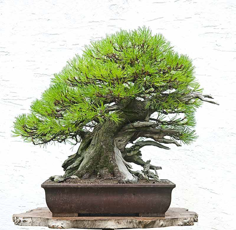 Bonsai Photo of the Day 8-7-2019