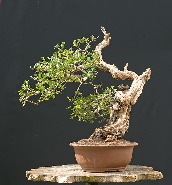 Bonsai Photo of the Day 8-9-2019