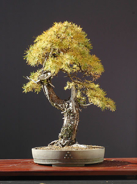 Bonsai Photo of the Day 9-10-2019
