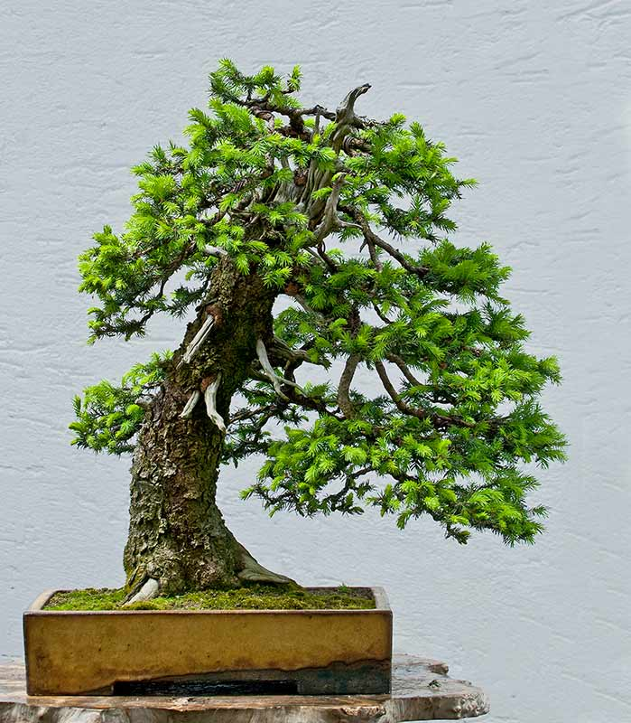Bonsai Photo of the Day 9-12-2019