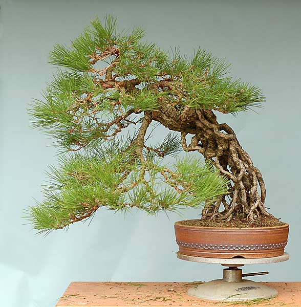 Bonsai Photo of the Day 9-13-2019