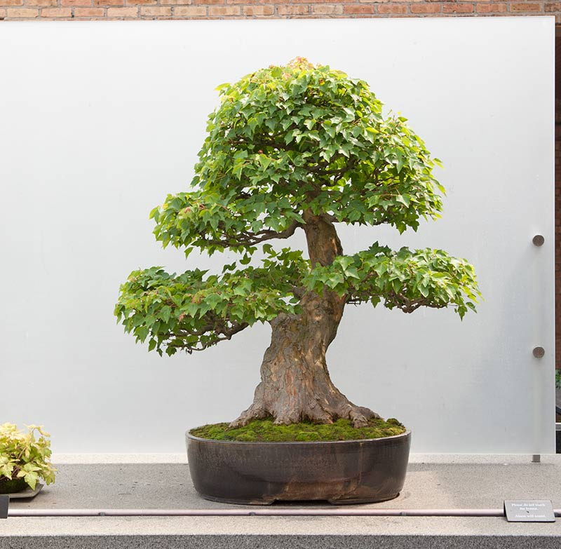 Bonsai Photo of the Day 9-18-2019