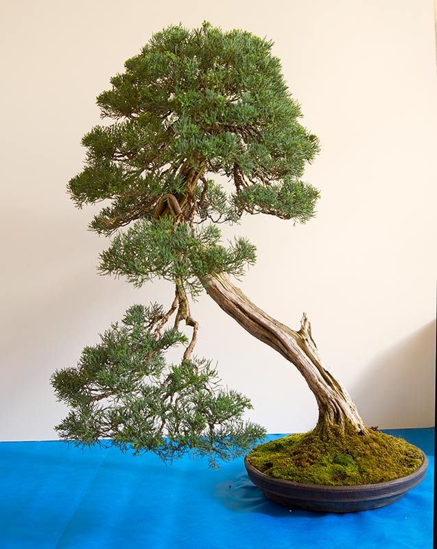 Bonsai Photo of the Day 9-2-2019